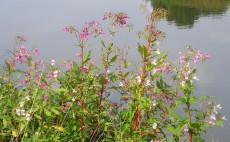Indisches Springkraut am Ufer