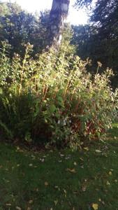 Schönes Rhododendrenbeet an einer Birke